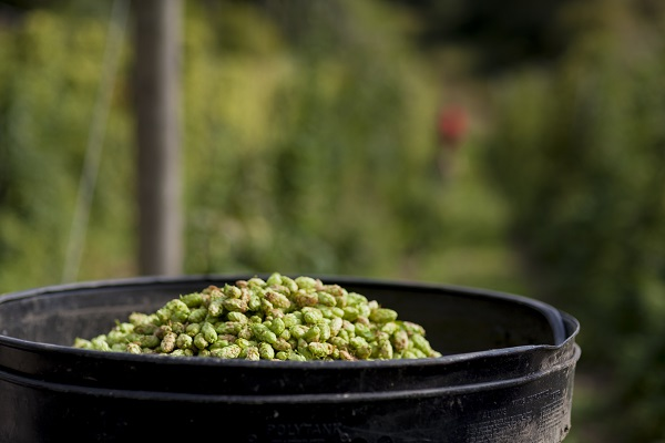 Hops Festival at Ventnor Botanic Garden